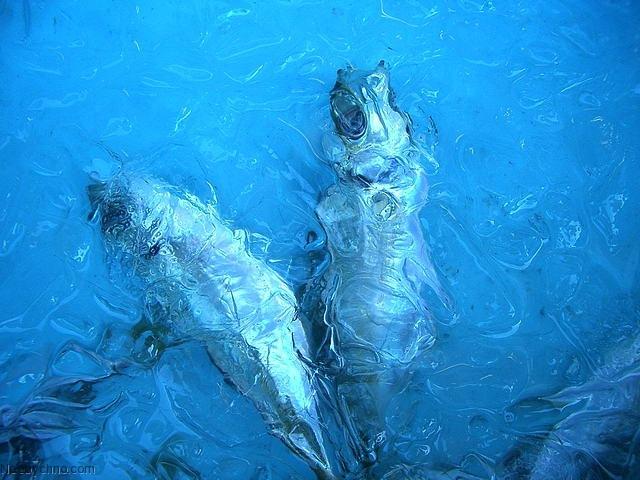 Рыба, вмерзшая в лед