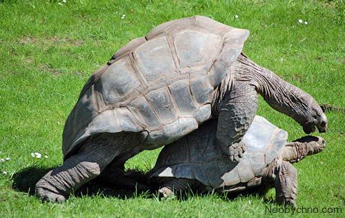 Galapagos_turtles