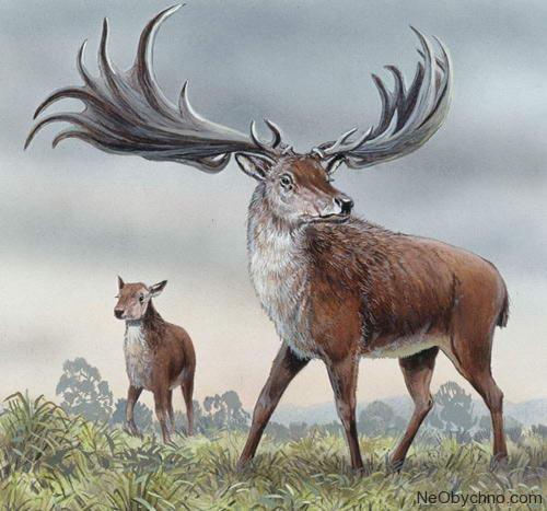 Ирландский олень