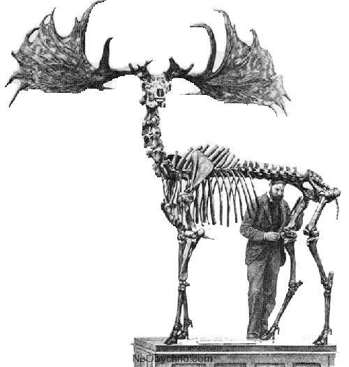 скелет ирландского оленя