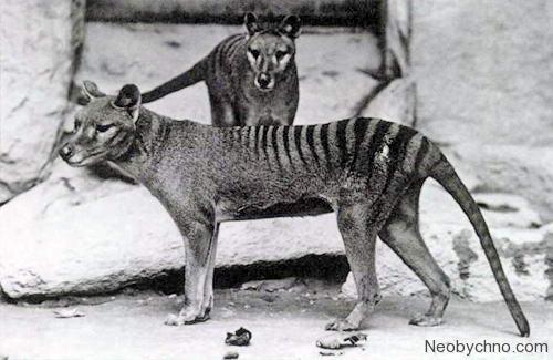 Тасманийские тигры