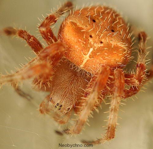 Котомордый паук