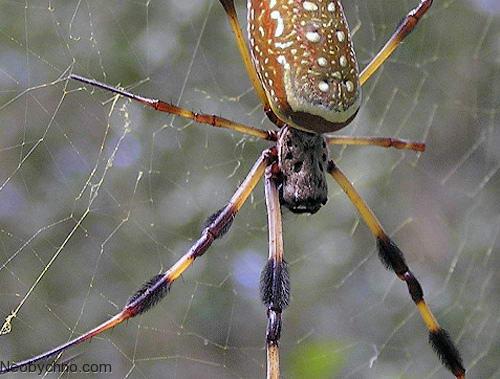 Паук кругопряд - Larinioides ixobolus - Альбомы пользователей ... | 379x500