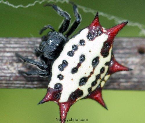 Крабовый шипастый паук