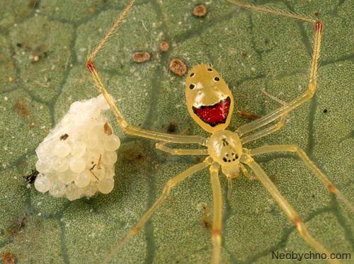 Гавайский паук