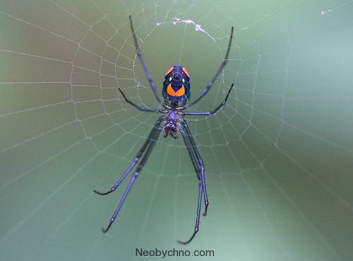 Фруктовый паук Венуста