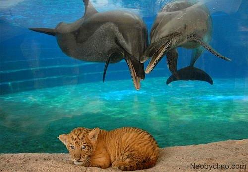 Лигр и дельфин