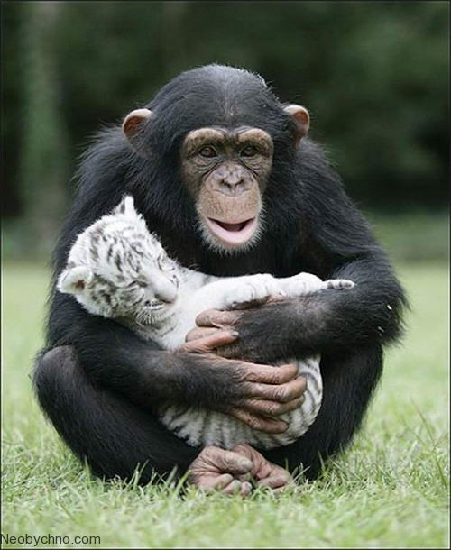 Шимпанзе и белые тигрята