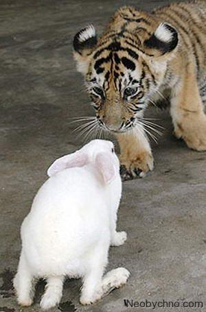 тигр и заяц