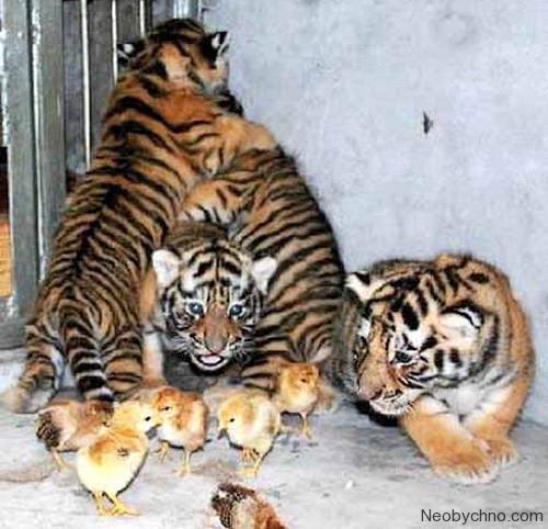 тигр и курица