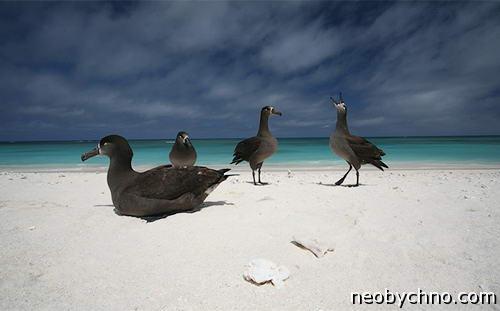 Остров Лисянского принадлежит птицам