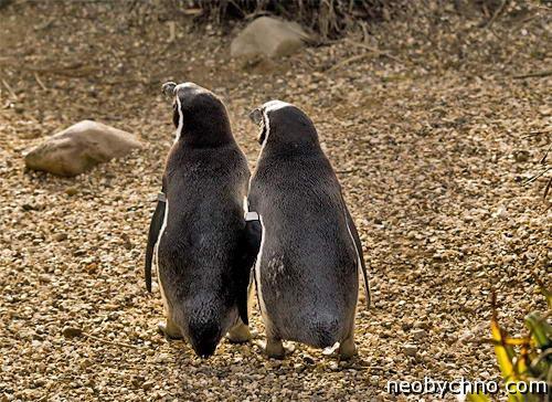 пингвины геи