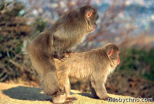 Снежные обезьяны, гомосексуальность