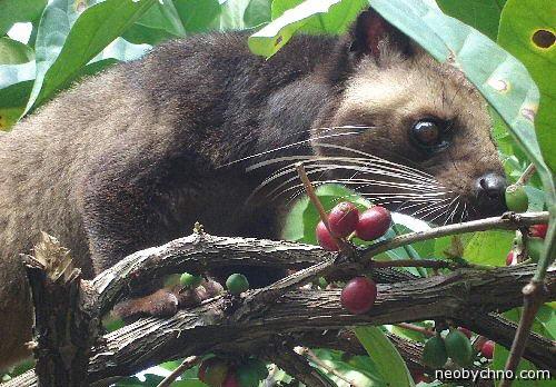 Циветта Лувак кушает кофейные ягоды