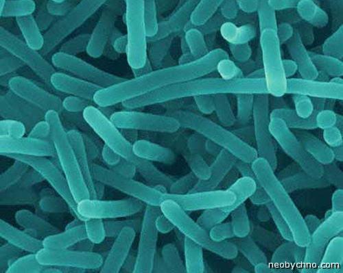 Опасные бактерии в сыре Рокфор