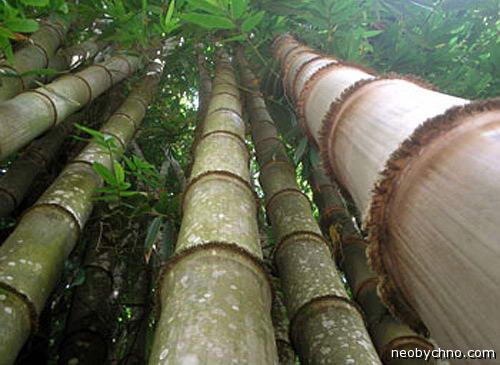 старый высокий бамбук