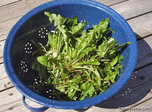 Одуванчик на салат