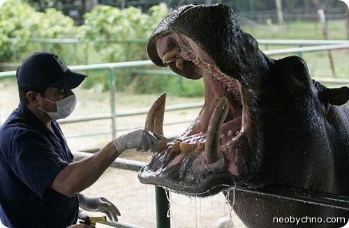 клыки бегемота