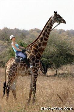 Домашний жираф