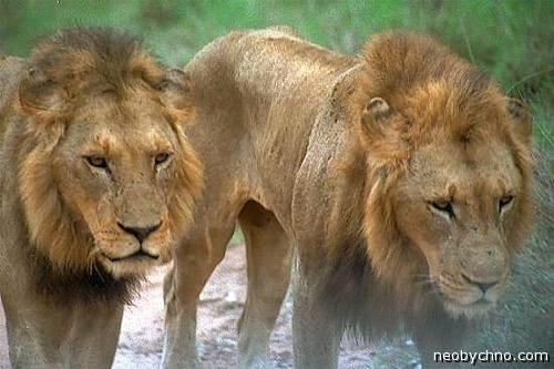 Львы-людоеды из Танзании