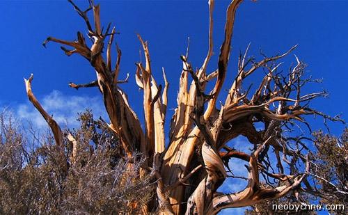 Самое древнее дерево на Земле