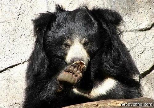 Медведь съел человека и облизывается