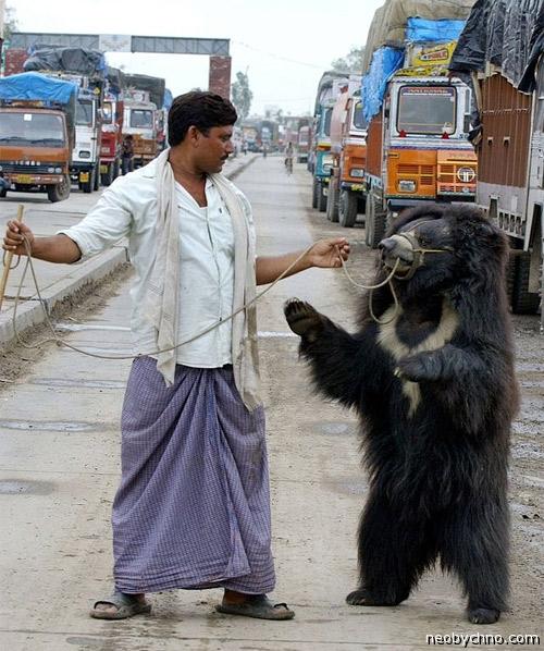 Медведь-губач танцует за деньги