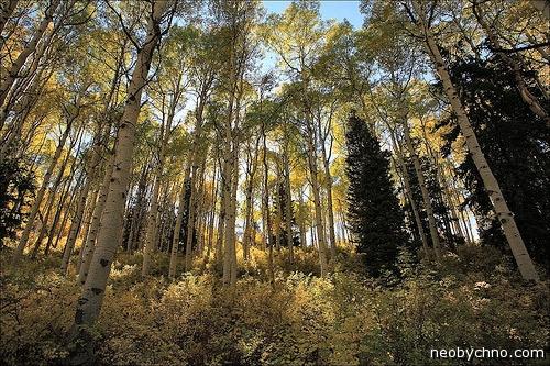 Осиновый лес из одних клонов