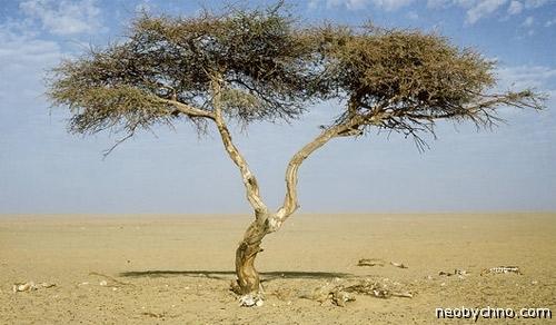 Самая одинокая акация посреди Сахары