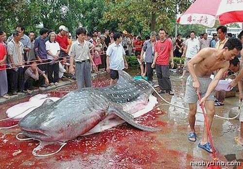 Китайцы поймали сома-людоеда
