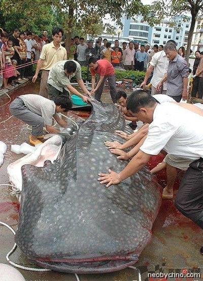 Китовую акулу перепутали с сомом