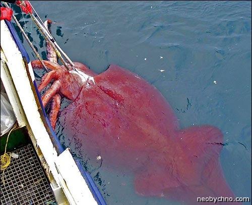 поймали гигантского кальмара