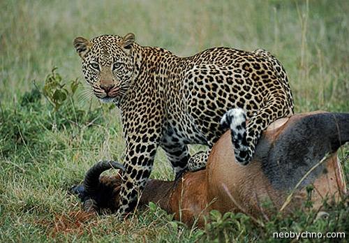Леопард ворует домашний скот