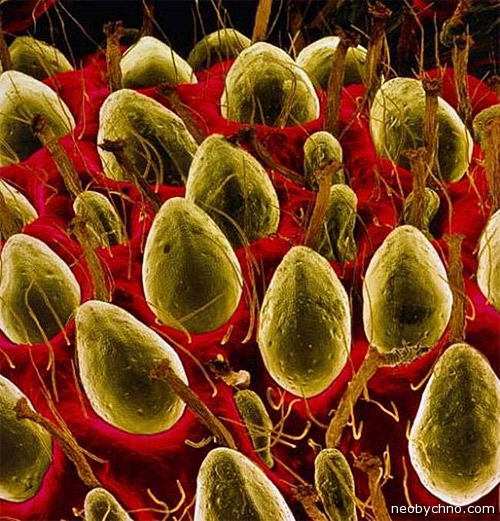 Клубника под микроскопом фото
