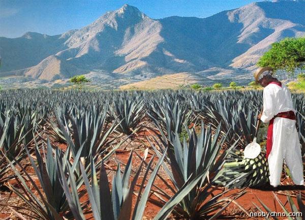 Поле биотопливное мексиканское