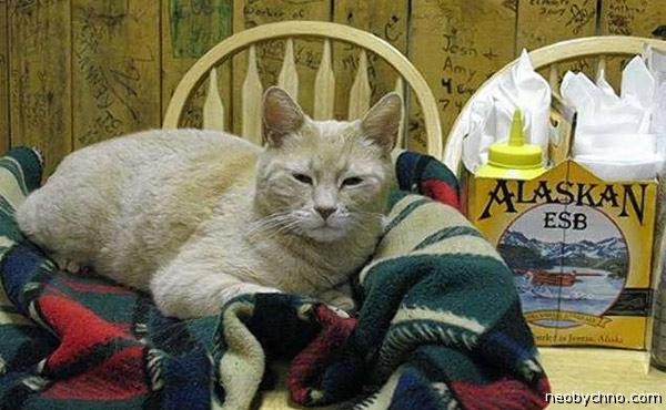 Самый аляскинский кот