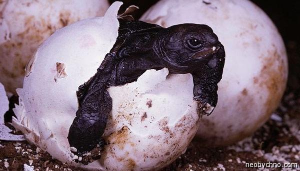 Галапагосская черепаха на супчик