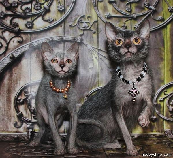 Коты породы Ликой