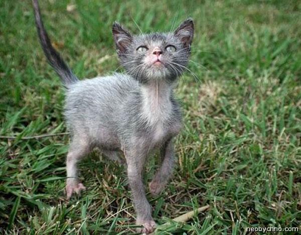 Готическая кошачья порода