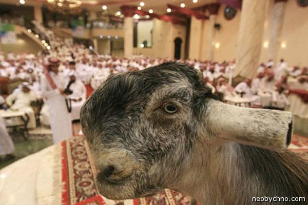 Картинки по запросу Дамасские козы или красота по-аравийски