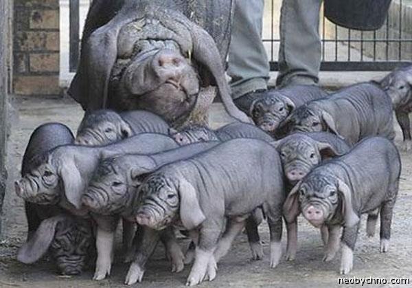 Мейшанские свиньи