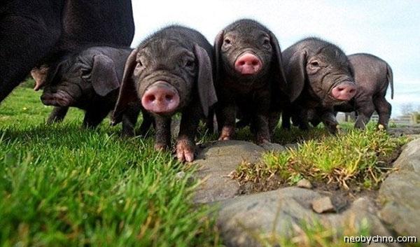 Свиньи-монстры из Китая