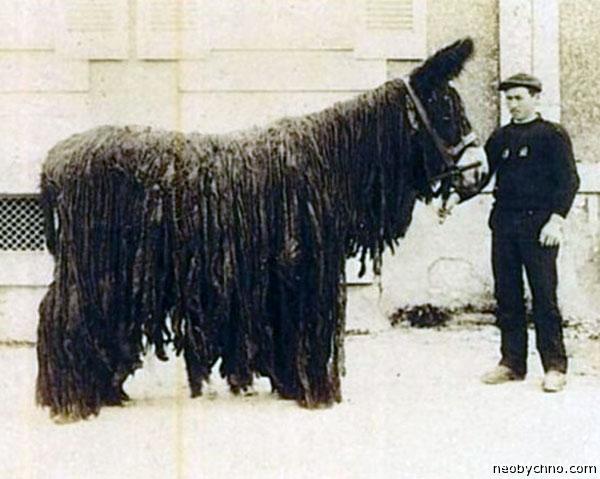 Мул-гигант из Франции