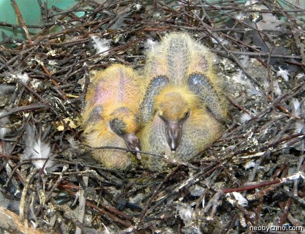 Гнездо сизаря
