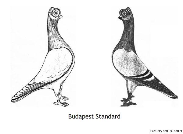 Будапештский стандарт породы