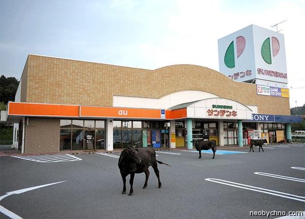 Коровы в городе-призраке