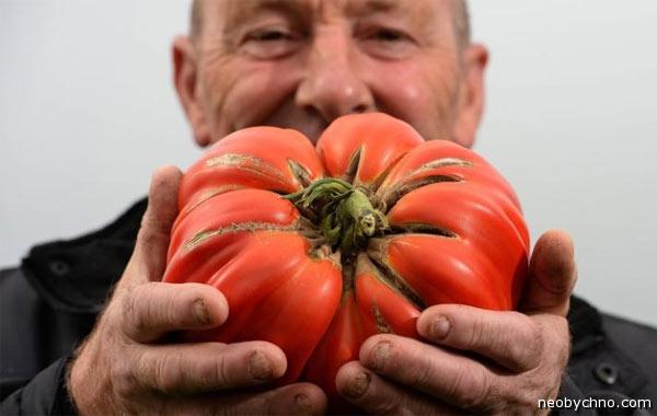 Супер помидор из Англии