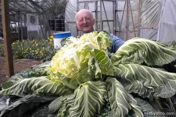 Самая большая цветная капуста