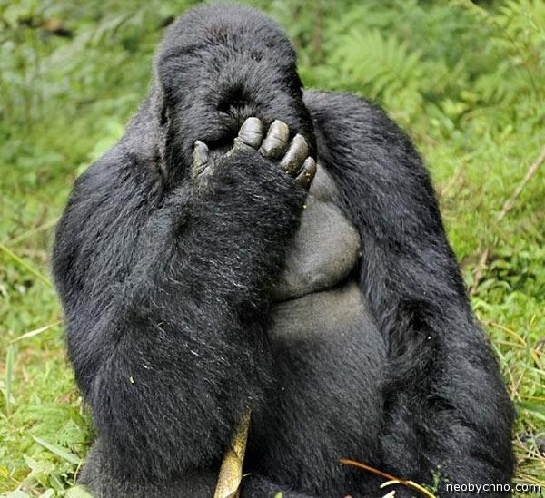 У гориллы похмелье