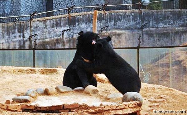 Медведей перепутали с собаками